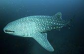 Requin baleine nageant dans le grand bleu Colombie ; Ce Requin baleine mesure 10 m de longueur. Son épiderme tacheté mime un banc de petit poissons.