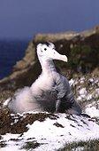 Poussin d'Albatros hurleur au nid Crozet ;  Terres Australes et Antarctiques Françaises