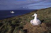 """Poussin d'Albatros hurleur au nid Crozet ; Terres Australes et Antarctiques Françaises. navire ravitailleur """"Marion Dufresne"""" en arrière plan"""