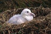 Poussin d'Albatros hurleur au nid Crozet ; Terres Australes et Antarctiques Françaises.