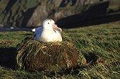 femelle adulte d'Albatros hurleur au nid Crozet ; Terres Australes et Antarctiques Françaises.