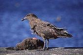 Labbe brun immature mangeant un cadavre sur l'île Crozet  ; Cadavre : poussin mort de Manchot royal