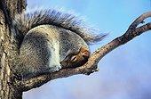 Ecureuil gris se protégeant contre le froid  ; Jardin botanique de Montréal