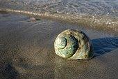 Escargot marin sur une plage de sable d'Ibiza