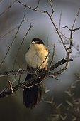 Coucal à sourcil blanc Kruger National Park Afrique du Sud