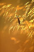 Female praying mantis in grasses at dusk