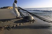 Fisherman and green Tortoise Coast of Oman Sultanate of Oman