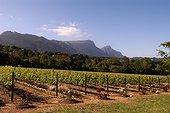 Vignoble avec un système d'irrigation Afrique du Sud ; Les rosiers permettent de révéler la présence de l'Oïdium