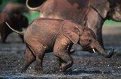 Eléphants de forêt courant République Centrafricaine ; Les défenses de l'Eléphant de forêt sont plus fines et moins courbées que celles de l'Eléphant de savanne.<br>La présence de l'homme a rendu les animaux nerveux, ils se mettent donc à courir<br>Site : Dzanga Bai Dzanga-Ndoki National Park République Centrafricaine.