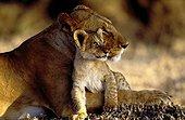 Lionceau se protégeant avec tendresse contre sa mère Kenya