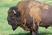 Bison d'Amérique mâle en élevage perdant son pelage d'hiver