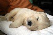 Portrait d'un Chiot de race Golden Retriever dormant ; Age : un mois.