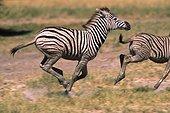 Zebras runing National park of Etosha Namibia