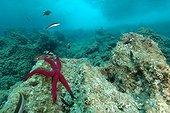 Etoile de mer pourpre sur le fond de la Méditerrranée ; Rade de Villefranche sur mer