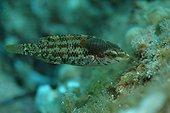 Crénilabre à 5 taches parasité par deux Anilocra physodes ; Crenilabrus quinquemaculatus. Rade de Villefranche sur Mer