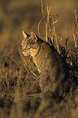 Chat sauvage d'Afrique assis Kgalagadi Transfrontier Park