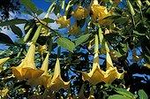 Flowering of Brugmansia in a gardenGironde