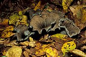 Trompette des morts dans une forêt de feuillus Gironde