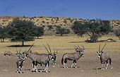 Troupeau de Gemsboks Kgalagadi Transfrontier Park