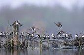 Halte migratoire d'un groupe d'Hirondelles de rivage France