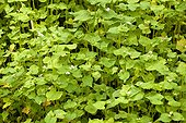 Sarrasin utilisé comme engrais vert