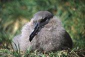 Jeune Albatros brun en train de muer sur son nid Crozet