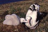 Nourrissage d'un poussin d'Albatros hurleur Crozet