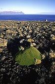 Touffe d'Azorelle avec l'île de l'Est en arrière plan Crozet