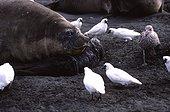Femelle d'Eléphant de mer protégeant son jeune ; Juste aprés la mise bas, la femelle doit protéger son jeune, des petits chionis et d'un goéland dominicain qui cherchent à se nourrir du placenta