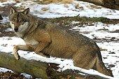 Loup commun sautant un arbre couché dans la neige France ; Site : Parc Zoologique de Thoiry Yvelines France. Les populations du Bhutan, de l'Inde, du Népal et du Pakistan sont classées en Annexe 1 de la CITES alors que les autres sont classées en Annexe 2.