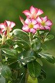 Flowers of desert rose