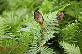 Roe Deer female hidden in ferns France