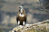 Eurasian Griffon Vulture Aragon Spain