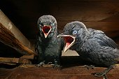 Chicks of Jackdaw of the turns calling the adults [AT] ; In the nest Provence France May [AT]