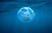 Jellyfish 20cm summer Méditerranée France ; not very dangeureuse for swimmers