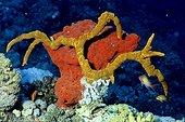 Sponge Sha'ab Rumi Red sea Sudan