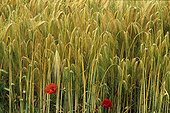 Field of ripe Barley and Poppies France