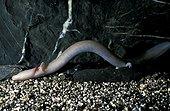 Protée anguillard nageant en condition cavernicole Moulis ; Le Protée est un amphibien néothénique (conserve les caractères larvaire même au stade adulte). Aveugle et sans pigmentation.<br/>Laboratoire de Moulis : unité mixte CNRS, a pour ojectifs la recherche et la formation sur le domaine souterrain.