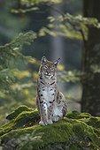 Eurasean lynx Bayerischer Wald Germany