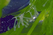 Common house mosquito larva and eggs hatching