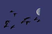 Vol nocturne des Canards et lune ; Déplacement entre le reposoir diurne et la zone de nourrissage nocture