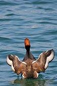 Nette rousse mâle battant des ailes en nageant Lac Léman