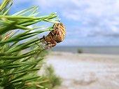 Araneus sp beach of the Baltic[AT]