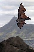Flying Fox flighing Mayotte