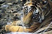 Benal tiger Madhya Pradesh Bandhavgarh NP India
