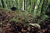 Crâne de mammifère trouvé en forêt au pied de fougères   ; Vallée du Doubs. France.