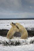 Male polar bears clashing in the toundra Canada