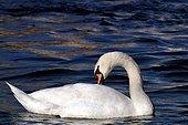 Cygne tuberculé nageant et se toilettant sur le lac Léman ; En février 2006, les Cygnes tuberculés font partie des premiers oiseaux sauvages atteints par le virus H5N1 de l'influenza aviaire.