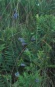 Azuré de l'Ajonc mâle rassemblés à leur dortoir Grèce ; Lépidoptère Lycaenidae assez répandu dans les prairies en Europe Mt Taygète (Grèce) 27.06.2004