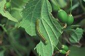 Caterpillar of Nettle tree Butterfly on a hackberry Greece